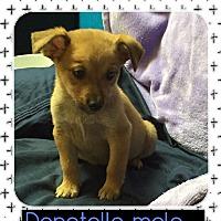 Adopt A Pet :: Donatello (Pom) - Harrisonburg, VA