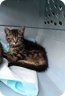Maine Coon Kitten for adoption in North Hollywood, California - Abigail