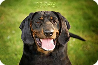 Bloodhound/Black and Tan Coonhound Mix Dog for adoption in Staten Island, New York - Carter
