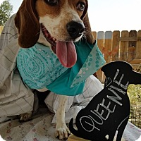Adopt A Pet :: Queenie aka Belle- ADOPTED 8/14/16! - Apple Valley, CA