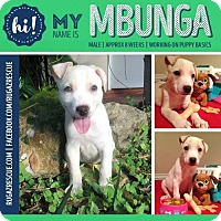Adopt A Pet :: Mbunga - New Port Richey, FL