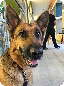 German Shepherd Dog Dog for adoption in Sterling, Virginia - Ryka 4203