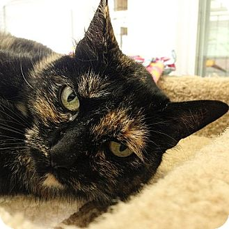 Domestic Shorthair Cat for adoption in Port Angeles, Washington - Priscilla