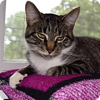 Domestic Shorthair Cat for adoption in Canastota, New York - Jesse