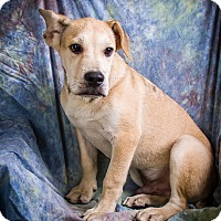 English Bulldog/Labrador Retriever Mix Puppy for adoption in Anna, Illinois - SOLDIER