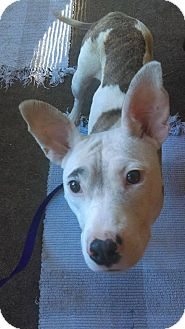 American Pit Bull Terrier Mix Dog for adoption in Des Moines, Iowa - Vega