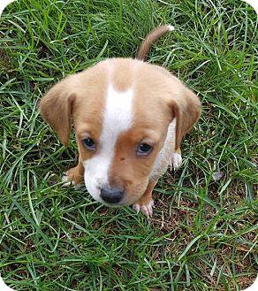 Beagle/Boxer Mix Puppy for adoption in Columbus, Ohio - Drogon