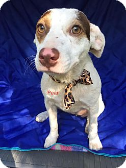 Cattle Dog Mix Puppy for adoption in Manchester, Connecticut - Pear- Adoption pending