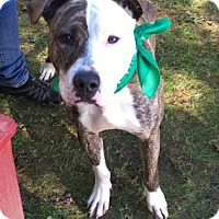 Adopt A Pet :: Milkshake - Voorhees, NJ