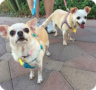 Chihuahua Mix Dog for adoption in Phoenix, Arizona - Lady and Angel