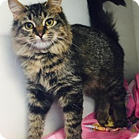 Domestic Shorthair Cat for adoption in Manteo, North Carolina - Prowler