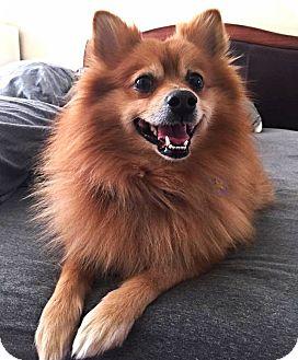 Pomeranian Dog for adoption in Philadelphia, Pennsylvania - TEDDY!
