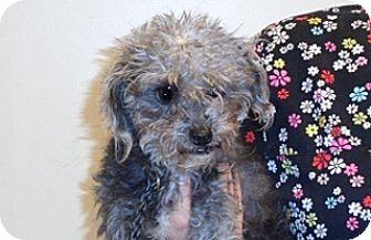Poodle (Miniature) Mix Dog for adoption in Wildomar, California - Nicolas