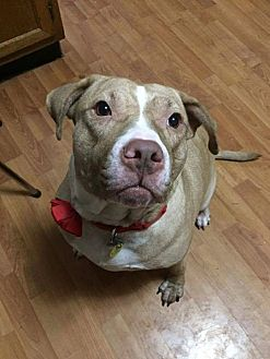 Pit Bull Terrier Mix Dog for adoption in Wichita, Kansas - Buttercup