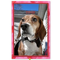 Adopt A Pet :: DIXIE - Ventnor City, NJ