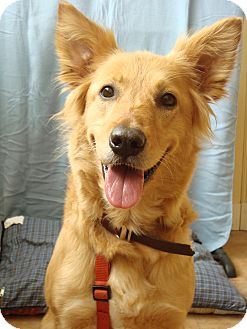 Brittany | Adopted Dog | Youngwood, PA | Golden Retriever Mix