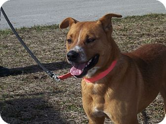 Boxer Mix Dog for adoption in Germantown, Maryland - Danny