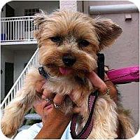 Adopt A Pet :: Isabella - St. Petersburg, FL