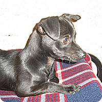 Adopt A Pet :: Archie - Wickenburg, AZ