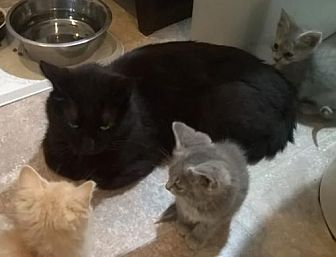 Domestic Shorthair Cat for adoption in Laconia, Indiana - Percy