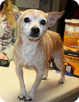 Chihuahua Dog for adoption in Cottageville, West Virginia - Gent