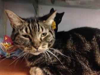 Domestic Mediumhair Cat for adoption in Fresno, California - Bones