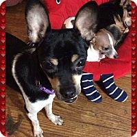 Adopt A Pet :: Julio - S. Pasedena, FL