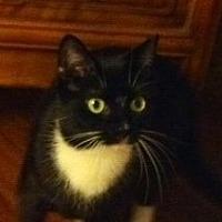 Bombay Cat for adoption in New York, New York - MILLIE- PLAYFUL CHARMER