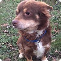 Adopt A Pet :: Brownie - Waldorf, MD