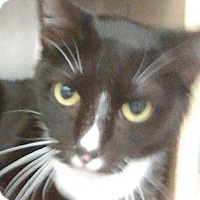 Adopt A Pet :: Kira-PET ME, PLAY WITH ME - Naperville, IL