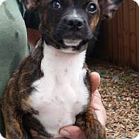 Adopt A Pet :: Abigail - Gainesville, FL