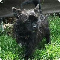 Adopt A Pet :: Bogie - San Clemente, CA