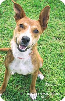 Cattle Dog/Shepherd (Unknown Type) Mix Dog for adoption in Dickinson, Texas - Precious