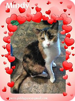 Calico Cat for adoption in Fort Worth, Texas - Mindy