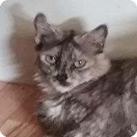Domestic Longhair Cat for adoption in Yorba Linda, California - Tabitha