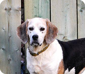 Beagle Dog for adoption in Farmington, Michigan - Elise