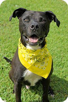 Pit Bull Terrier Dog for adoption in Virginia Beach, Virginia - 1607-1683 Marc