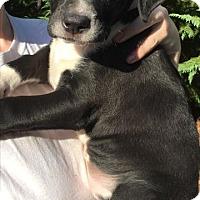 Adopt A Pet :: Baby Stitch - Rockville, MD