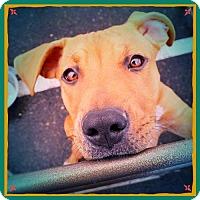 Adopt A Pet :: PAISLEY - Chandler, AZ