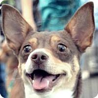 Rat Terrier Mix Dog for adoption in MINNEAPOLIS, Kansas - Lilo
