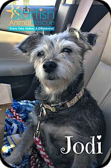 Schnauzer (Miniature) Dog for adoption in Plainfield, Illinois - Jodi