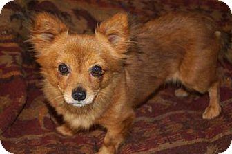 Pomeranian Mix Dog for adoption in Agoura Hills, California - 'PUMPKIN'