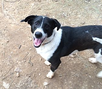 Border Collie/Corgi Mix Dog for adoption in Acworth, Georgia - Zack