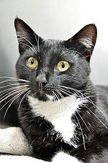 Domestic Shorthair Cat for adoption in Fort Leavenworth, Kansas - Bumpy