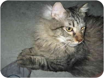 Domestic Longhair Cat for adoption in Las Vegas, Nevada - T-Dog