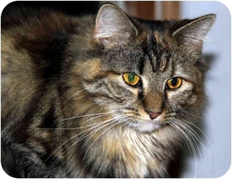 Maine Coon Cat for adoption in Berkeley Hts, New Jersey - Fiona  (URGENT PLEA)