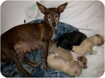 Chihuahua Puppy for adoption in Orlando, Florida - Bambi and Family