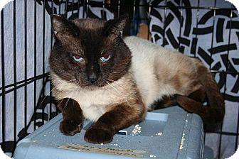 Siamese Cat for adoption in Santa Rosa, California - FIV Siamese