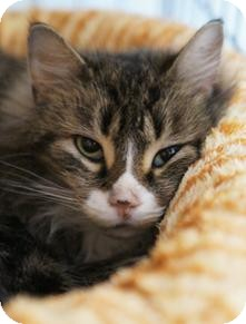 Domestic Mediumhair Cat for adoption in Medford, Massachusetts - Eliza