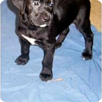 Adopt A Pet :: BOXER PUPPIES! - Rossford, OH